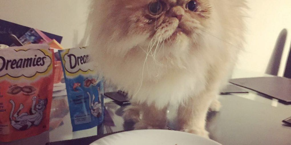 Persian Cat Eating