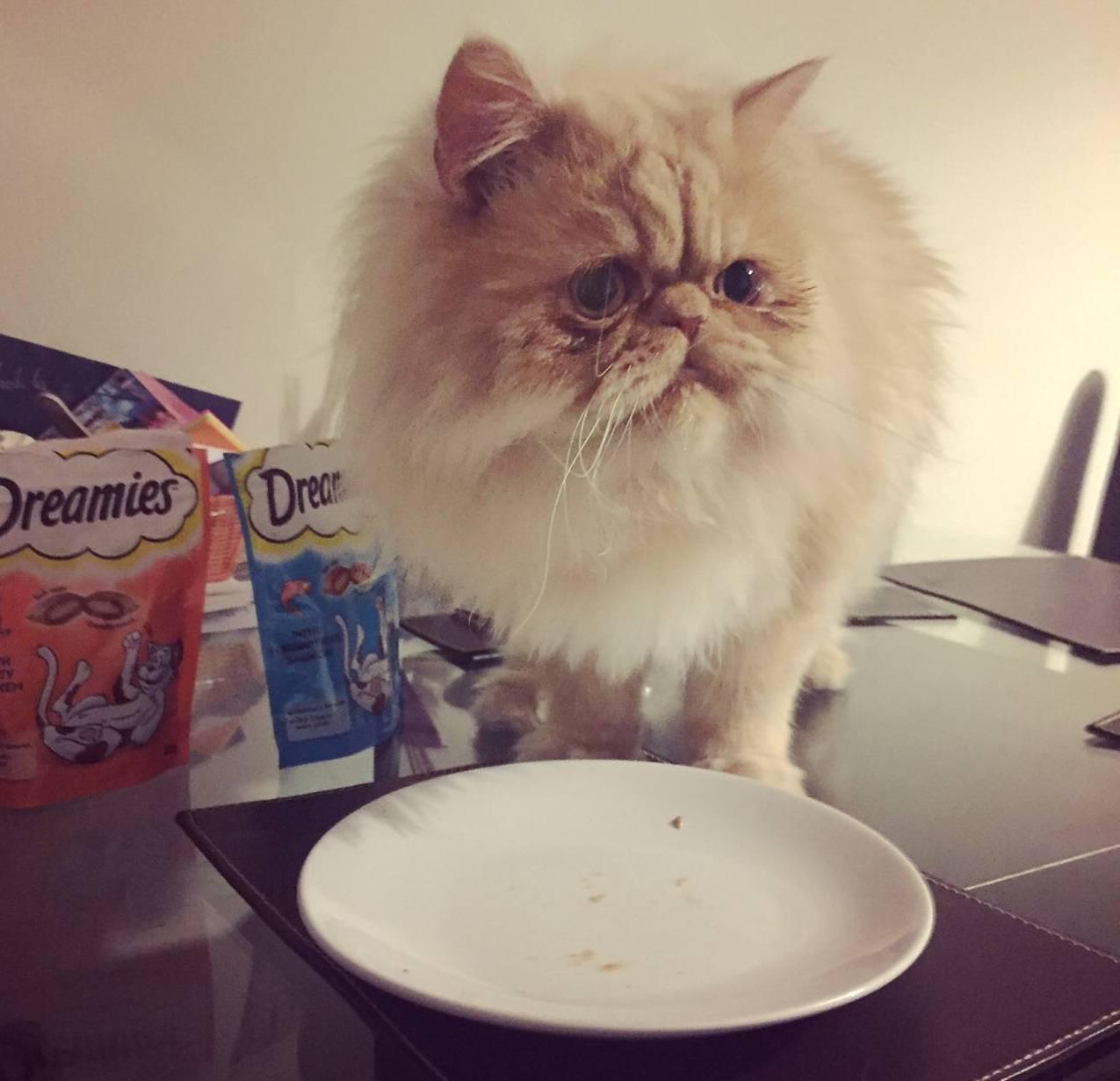Persian Cat Eating