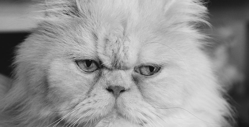 Persian cat life expectancy