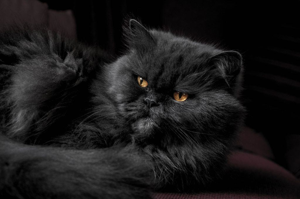 Persian Cat Cost- How Much Should You Pay? | Persian Cat Corner
