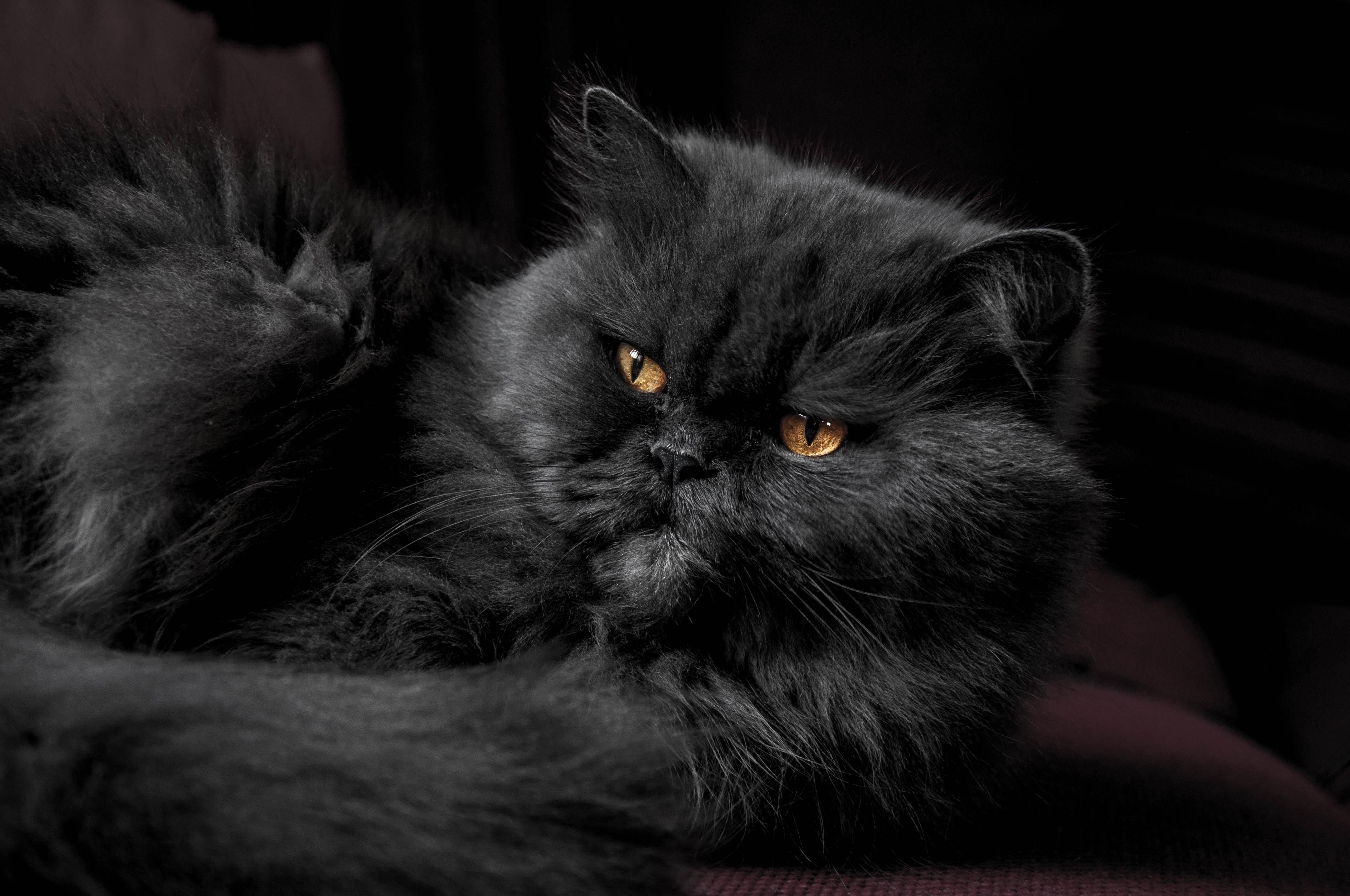 Persian Cat Cost