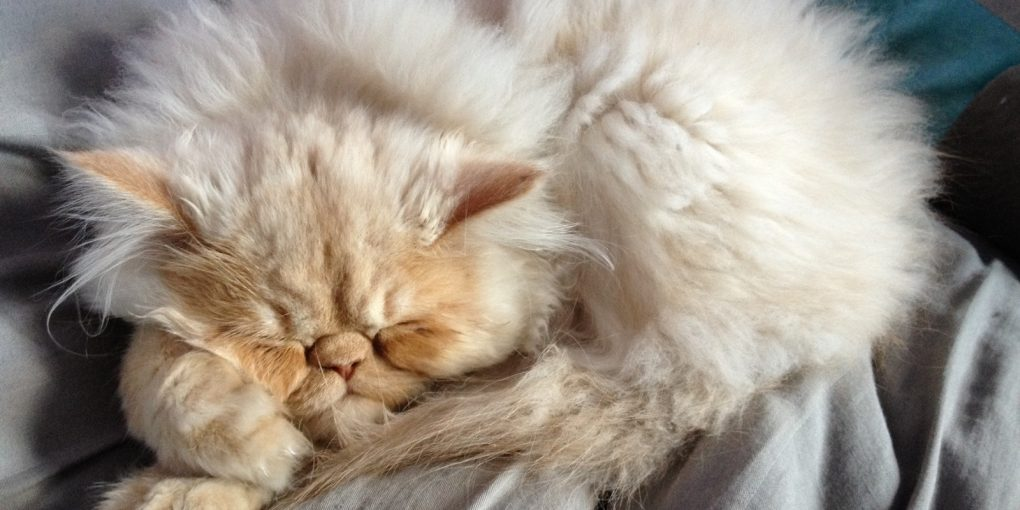 Persian Kitten Personality