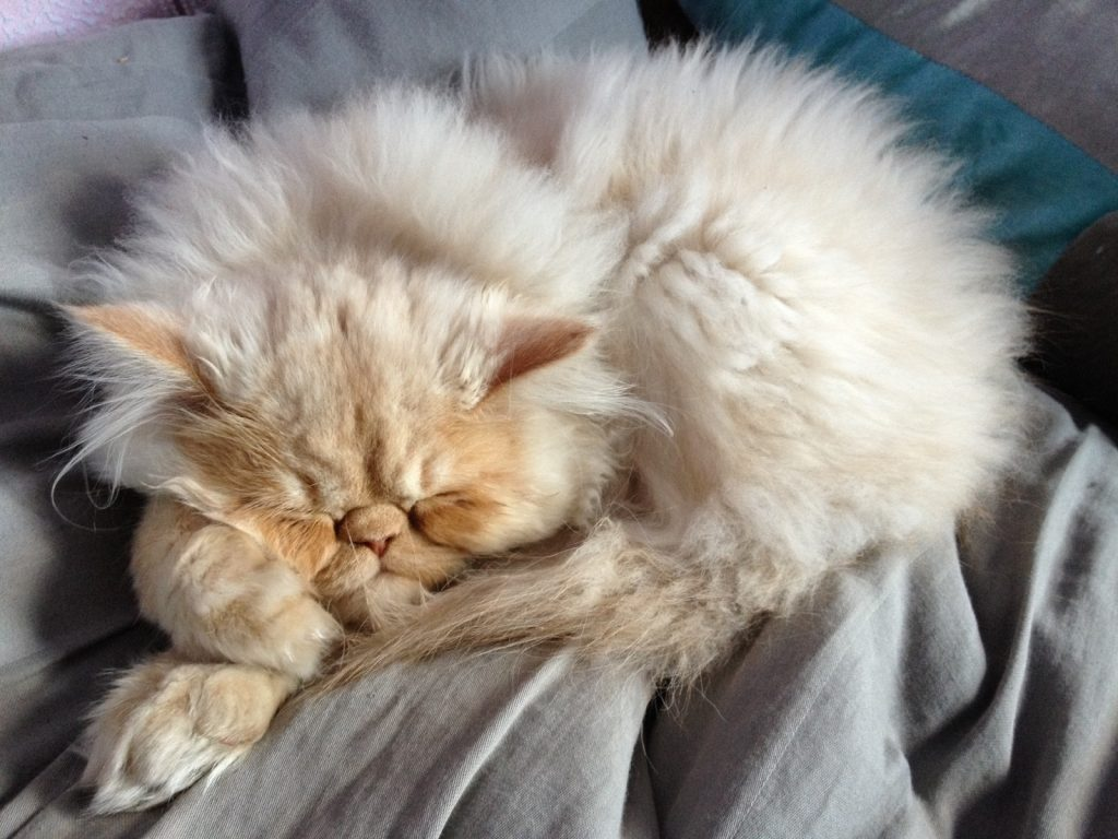 Persian Cat Litter
