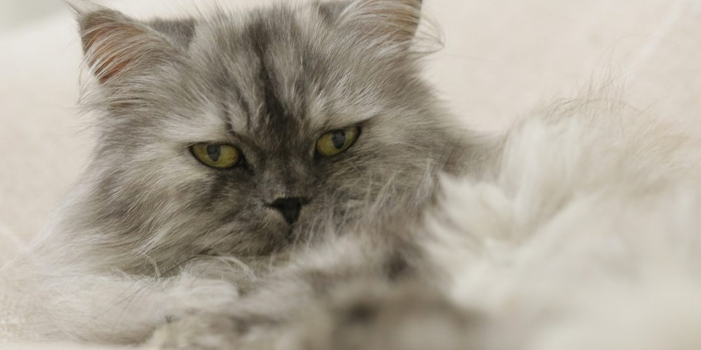Persian cat shed