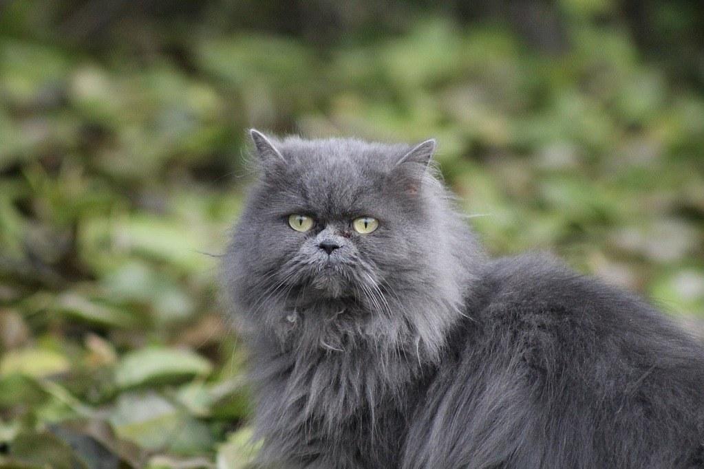 Persian blue cat