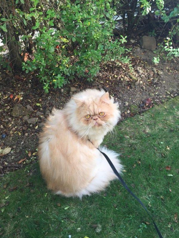 Milo on a cat lead