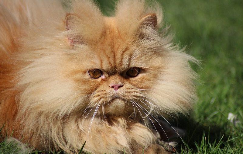 big persian cat