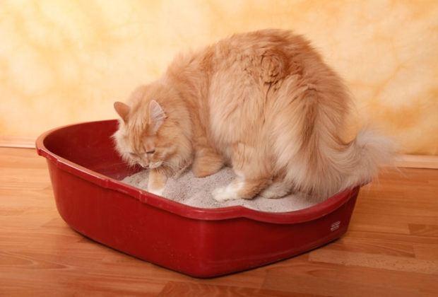 Persian cat in litter box