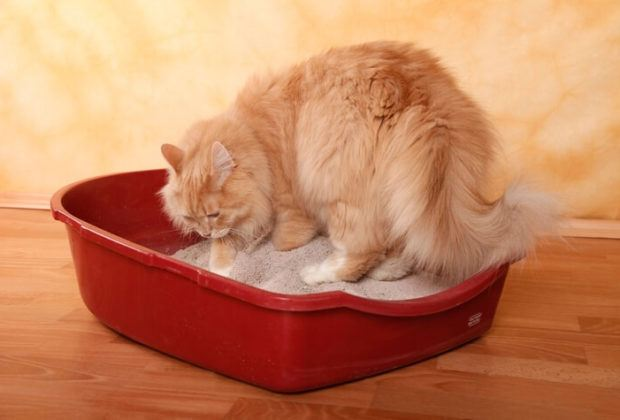 Persian cat in litter box