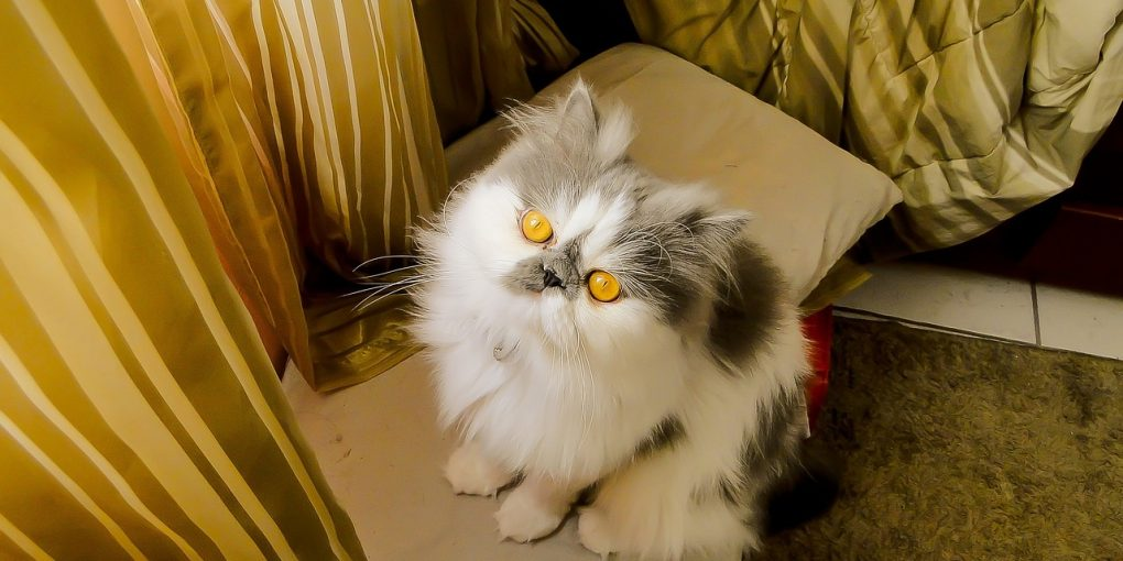 Persian cat looking up