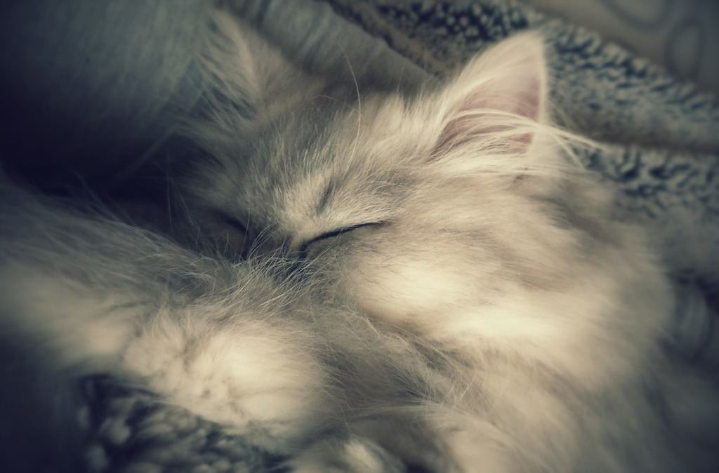 Persian cat on the bed