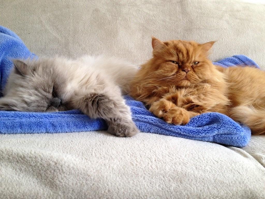 Persian cat sleeping