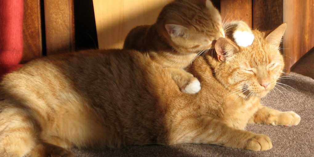 cats licking each other