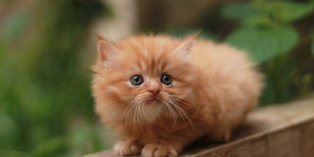 Cute Persian Kitten