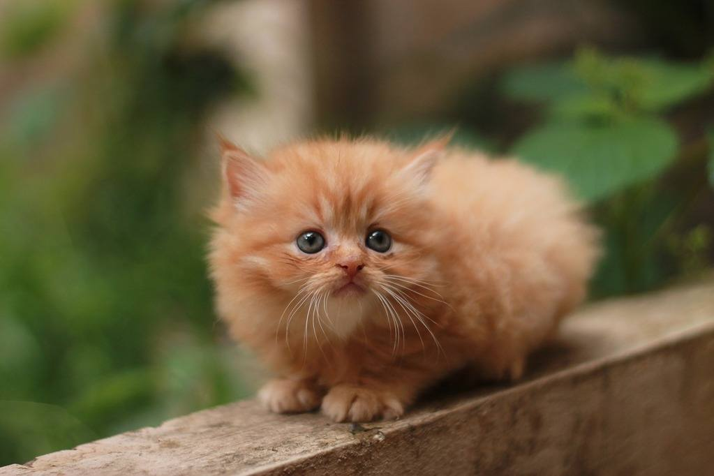 What Are The Different Types Of Persian Cats Persian Cat Corner