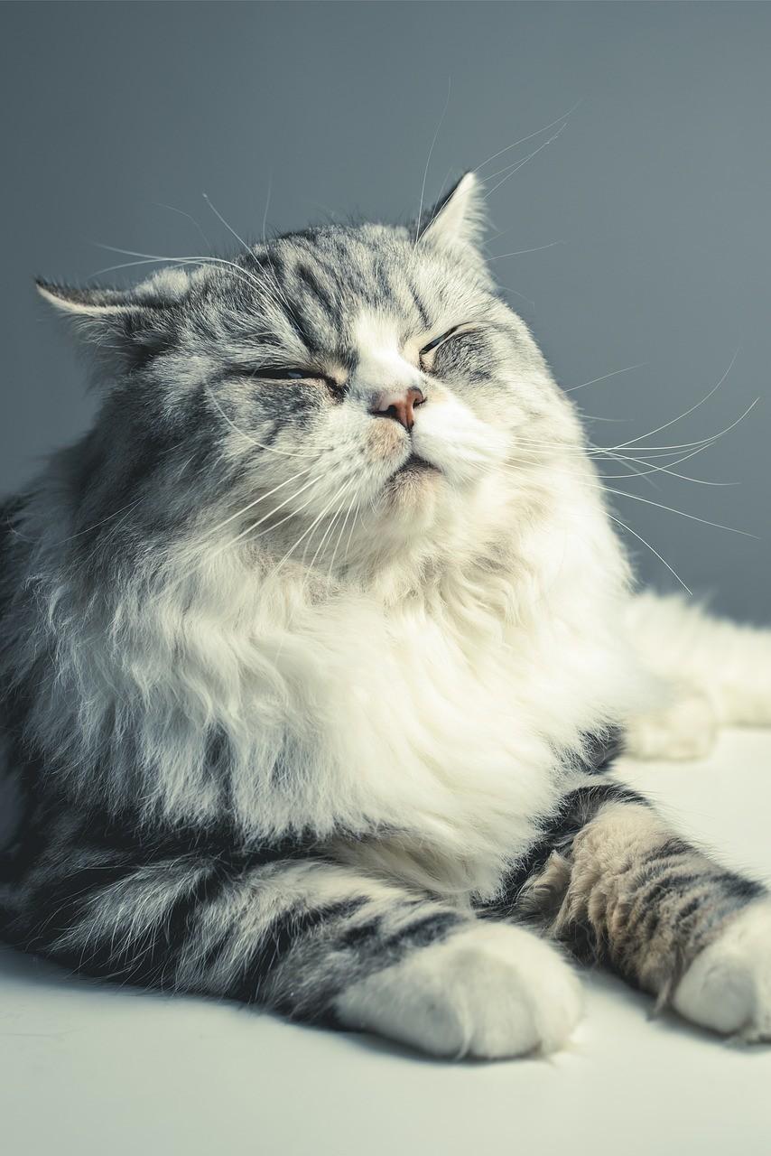 Persian cat eyes closed