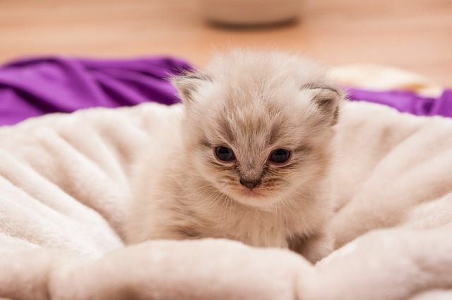 Persian cat names