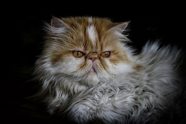What Are The Differences Between A Male And Female Persian Cat