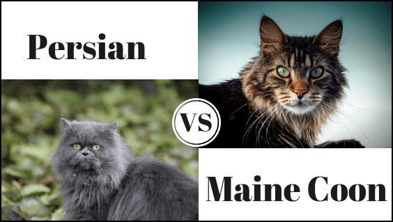 Persian Cat Vs Maine Coon