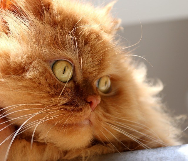 Ginger Persian cat