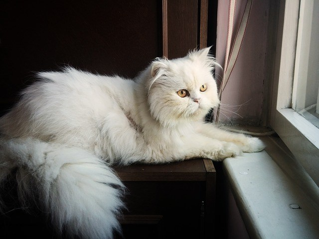 persian looking out of the window