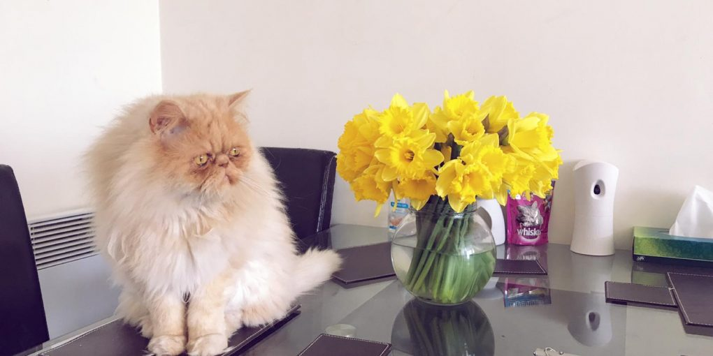 milo with daffodils