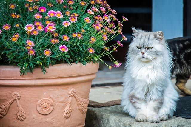 persian cat and flowers