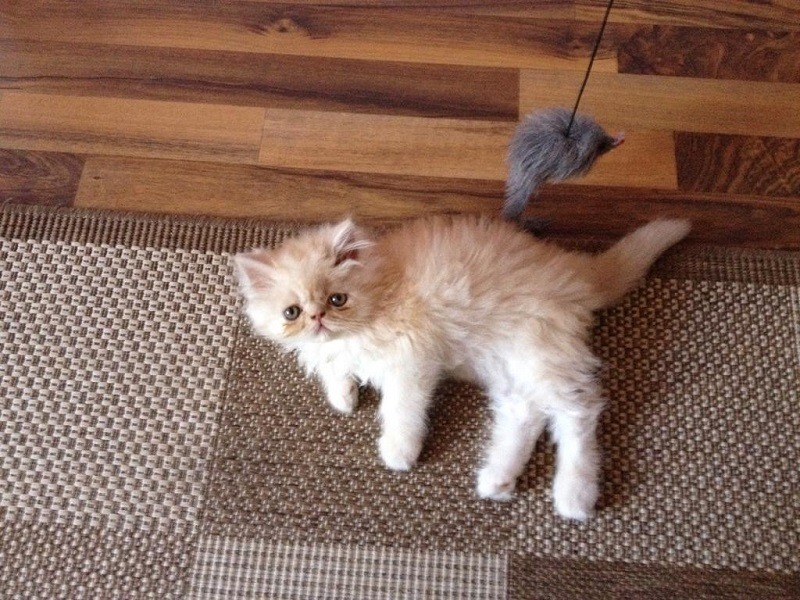 Where to Find Persian Kittens for Sale | Persian Cat Corner