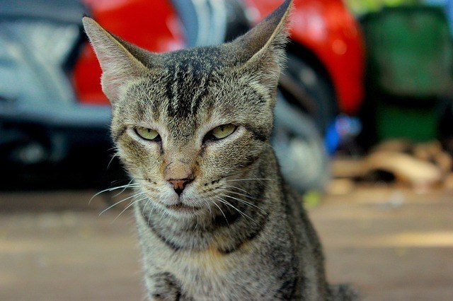 taddy cat angry