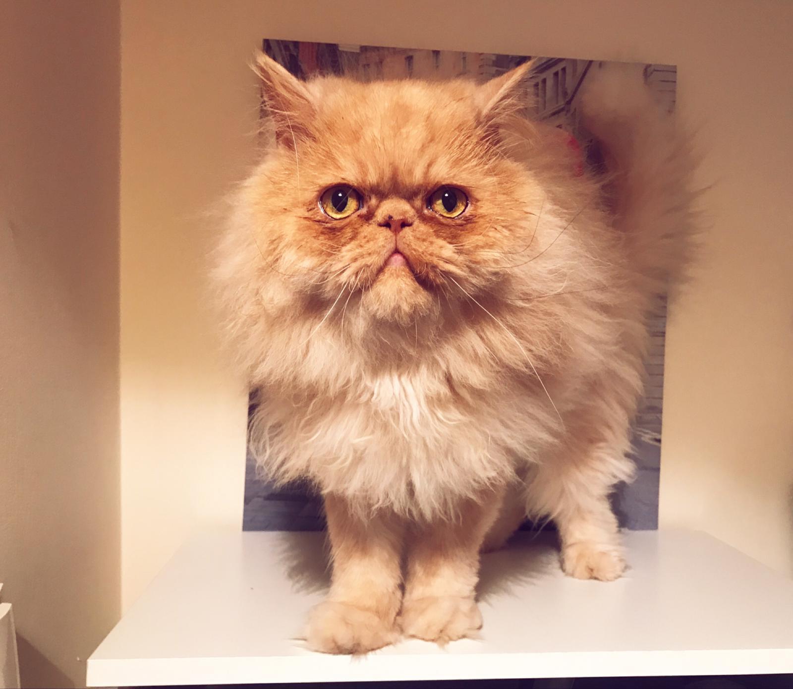 Milo-Persian-cat standing