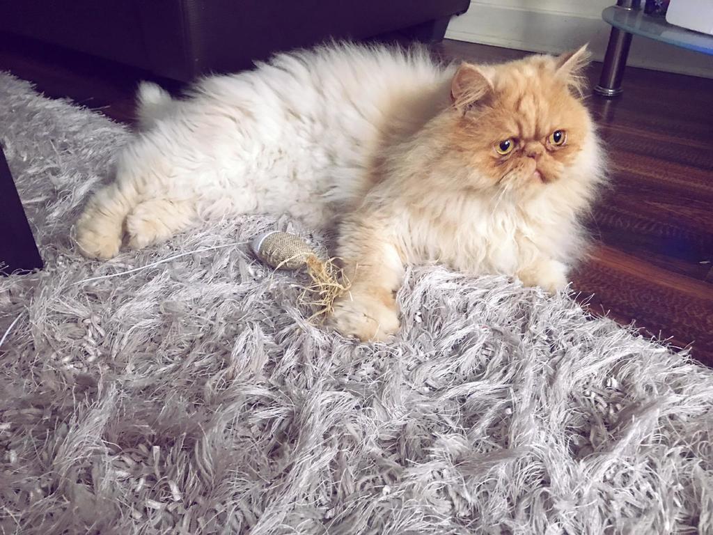 Milo Persian cat sitting
