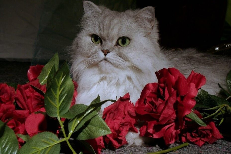 Why Are Persian Cats So Popular