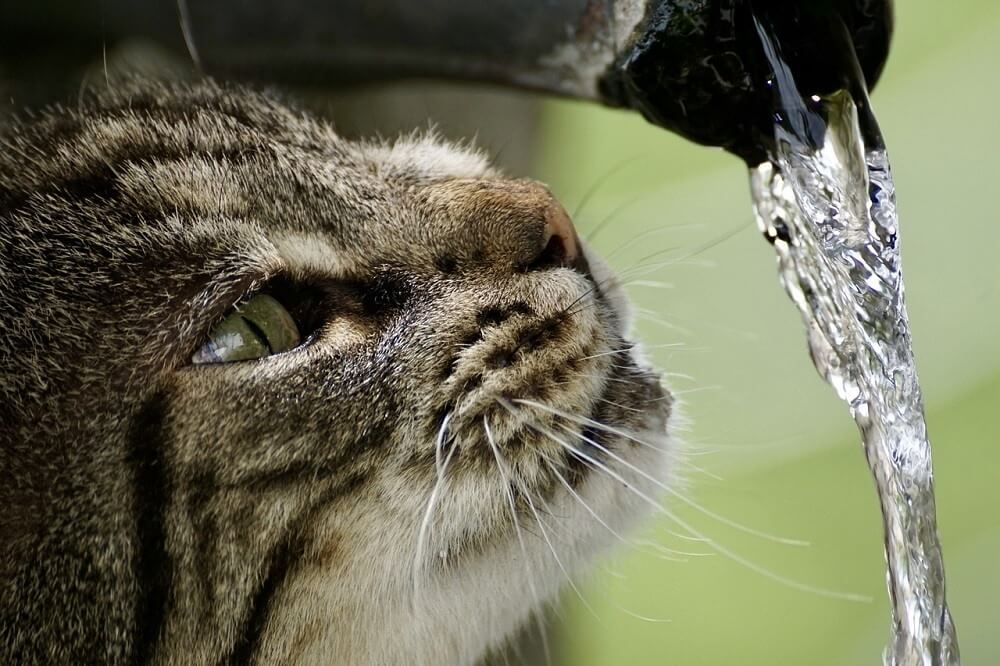 How Long Can A Cat Go Without Water?
