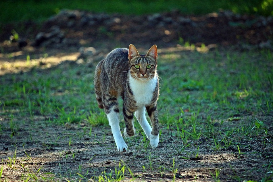 How Fast Can Domestic Cats Run?