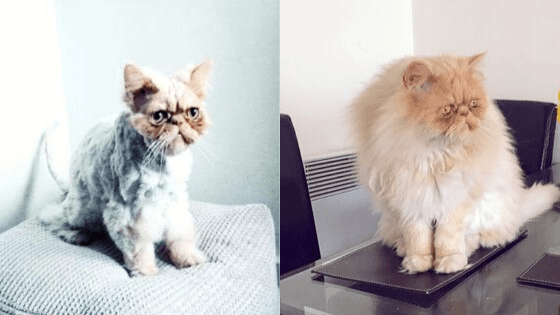 Milo shaved fur before and after