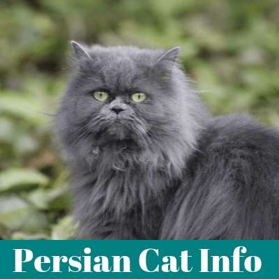 Persian Cat Information