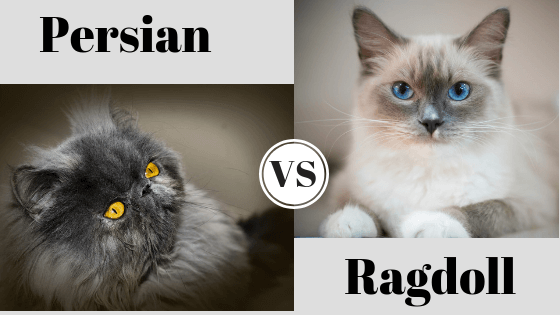 Persian Cat-vs. Ragdoll