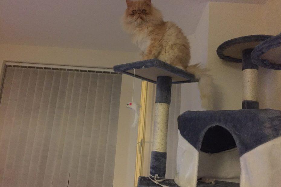 Persian cat climbing
