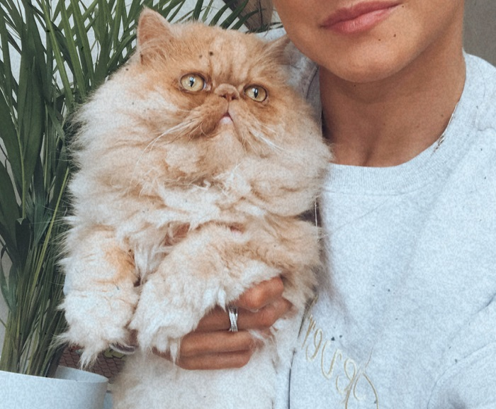 Milo- Persian Cat Being Held