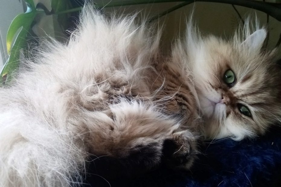 Are Persian Cats Shy
